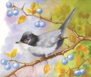 SardinianWarbler